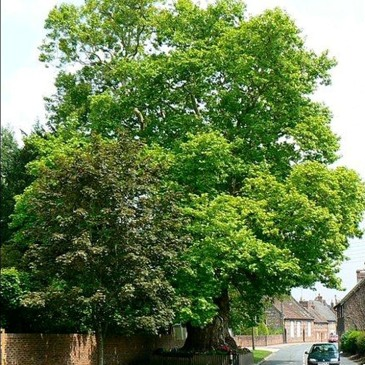 Mature Roadside Tree